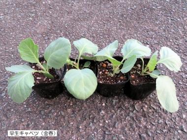 200831kyabetsu
